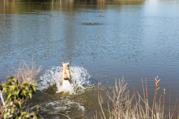 A playful dog jumps into the water to fetch a ball.