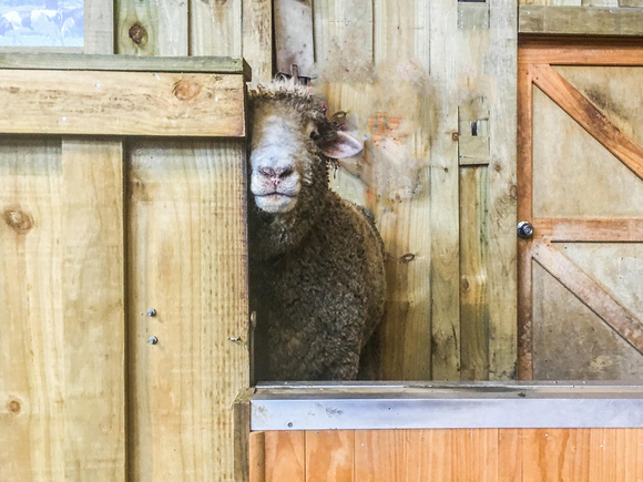 Visit a sheep farm while in New Zealand