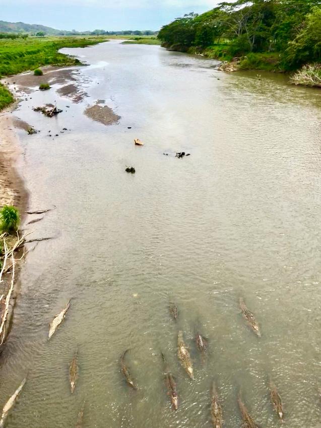 Those are gigantic crocodiles in the Rio Tarcoles!